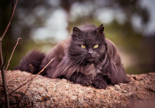 Photo free Nebelung, black cat, asian