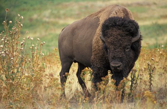 Photo free horns, american bison, field