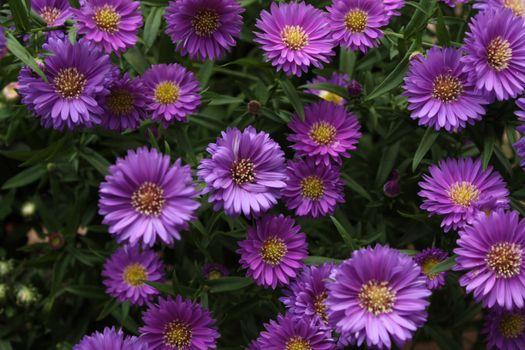 Фото бесплатно цветы, листья, пурпурные цветы