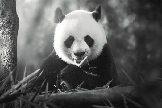 Photo free panda, monochrome, fluffy