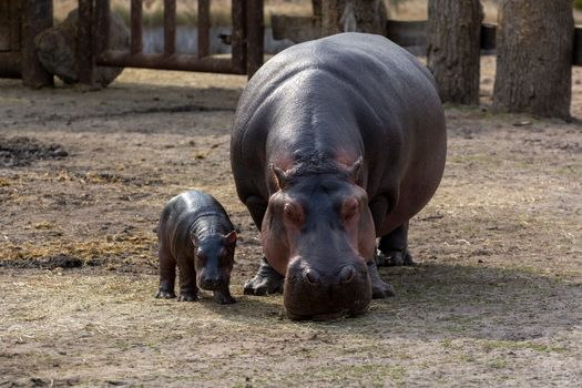 Photo free animals, hippopotamus, cubs