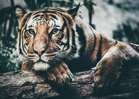 Заставки хищник, морда, большая кошка