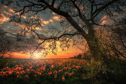 Фото бесплатно дерево, маки, цветы