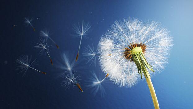 Фото бесплатно одуванчик, ветер, близко