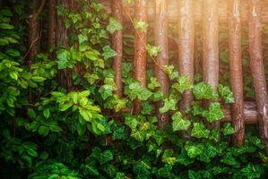 Бесплатные фото деревянный забор,плющ,листья,ветки,зеленый,солнечный свет,природа