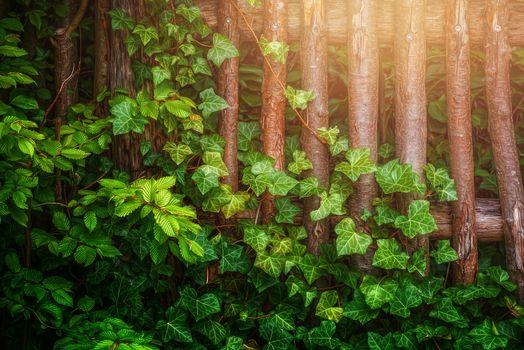 Фото бесплатно деревянный забор, плющ, листья, ветки, зеленый, солнечный свет, природа