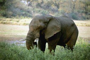 Фото бесплатно слоны и мамонты, бивни, млекопитающее