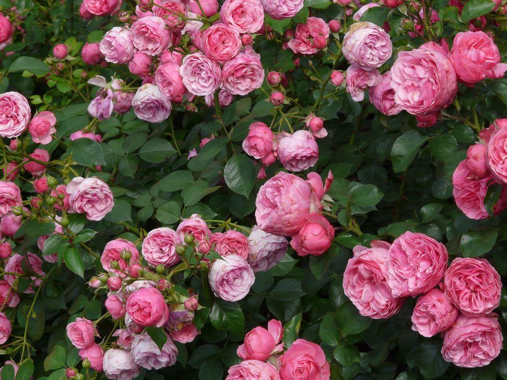 Картинка цветы, розы, куст, бутоны на рабочий стол. Скачать фото обои цветы