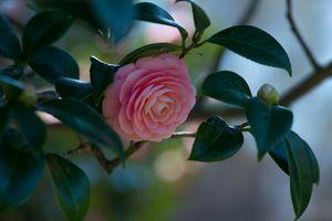 Фото бесплатно камелии, цветущие ветви, флора