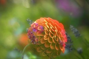 Фото бесплатно георгины, цветочные, цветочные композиции
