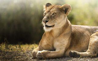 Заставки львица, лежа, величественные