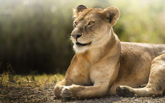 Фото бесплатно львица, лежа, величественные