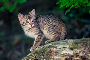 Фото бесплатно Wildcat kitten, кот, кошка