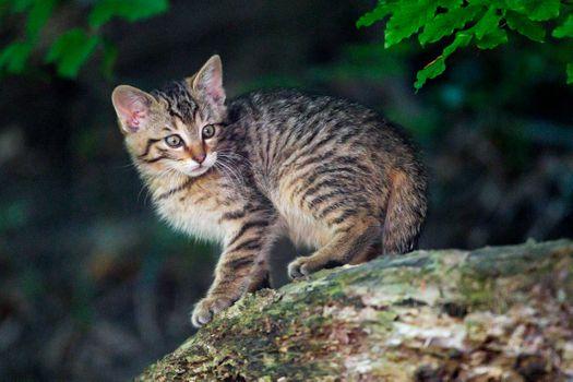 Photo free Wildcat kitten, cat, animal