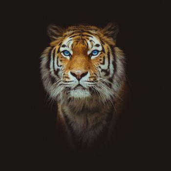 Заставки тигр, морда, животное