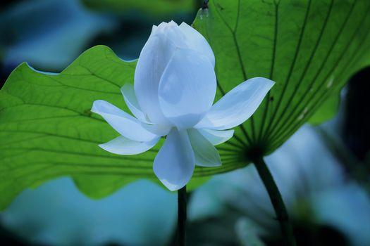 Фото бесплатно цветы, лотос, флора
