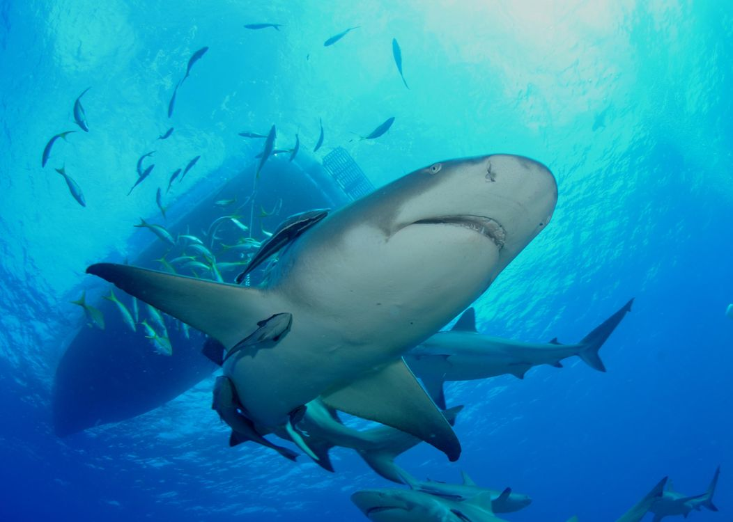 Фото бесплатно Морские обитатели, Акулы, Акула, море, Подводный мир, подводный мир