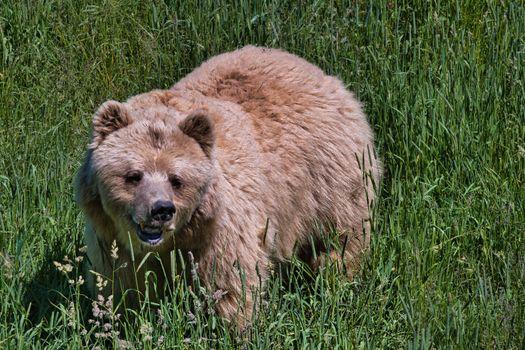 Photo free animals, brown bears, bears