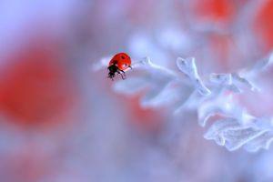 Фото на заставку божья коровка, насекомое