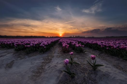 Photo free Tulips in the Netherlands, field, landscape