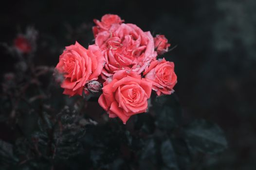 Photo free pink roses, bouquet, buds
