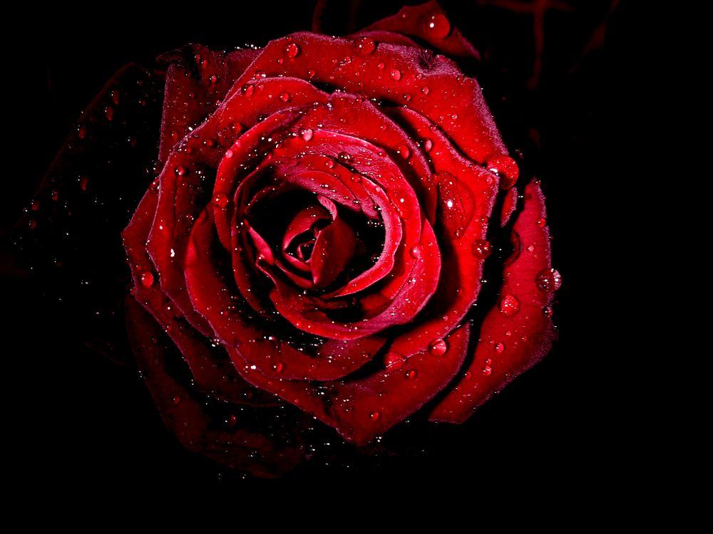 Лепестки роз · бесплатное фото