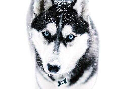 Хаски с голубыми глазами · бесплатное фото