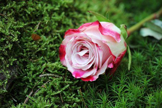 Photo free pink rose, grass, close