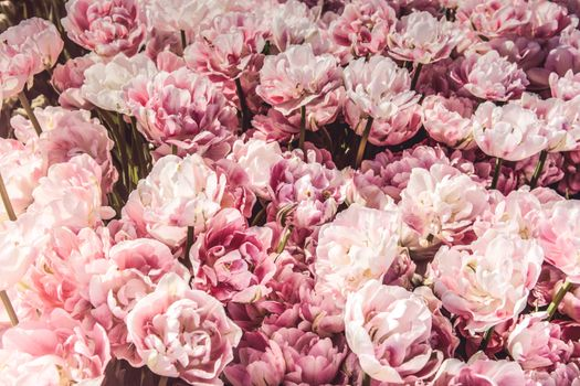 Photo free flowers, many, pink