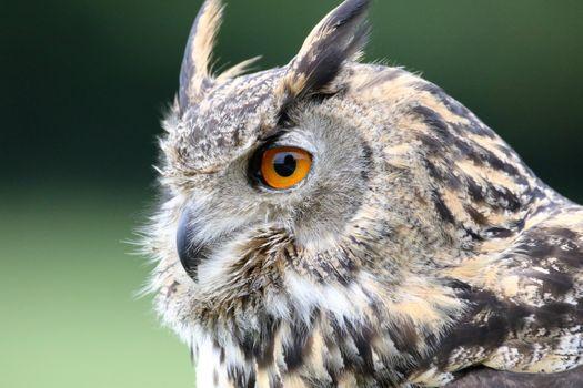 Photo free ears, owl, beak