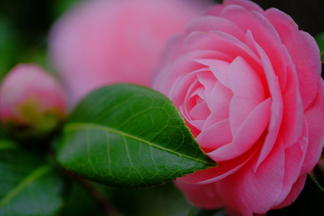 Фото бесплатно камелия, цветок, цветы, цветочный, цветочная композиция, флора, красивые, красивый, цвет, оригинальный, красочный, цветы