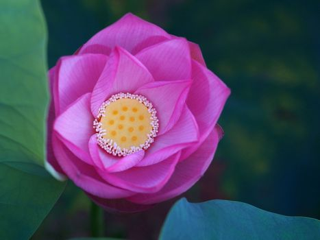 Картинка про красивый цветок, лотос