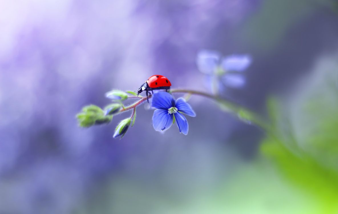 Free photo ladybug, flower, insect - to desktop