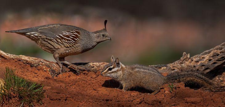 Фото бесплатно Перепел и бурундук, животное, птица