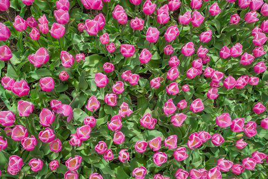 Бесплатные фото цветы,тюльпаны,много