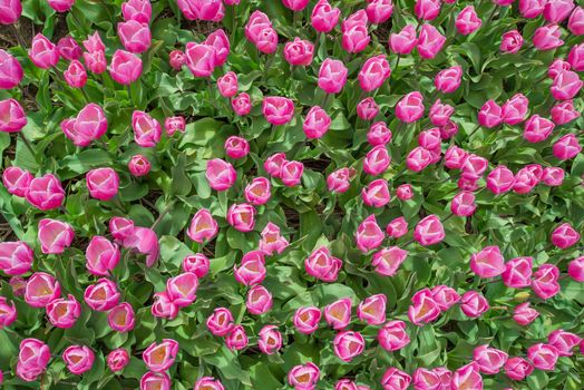 Photo free flowers, tulips, lot of