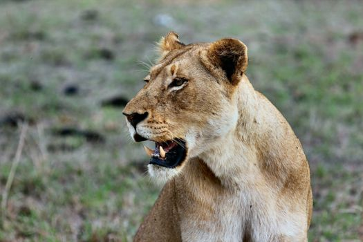 Photo free lioness, teeth, wild cat