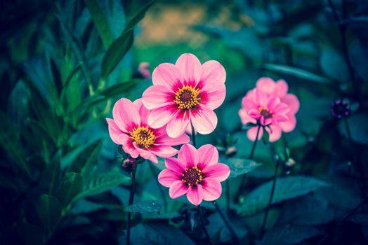 Photo free Dahlia, flora, plant