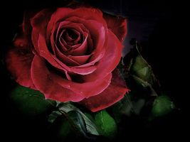 Фото бесплатно роза, цветок, чёрный фон, флора