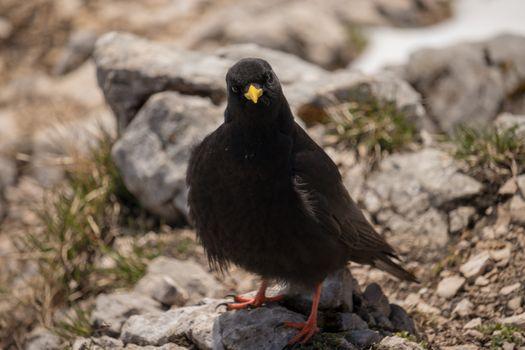Заставки Альпийская Галка, черная, дикие птицы