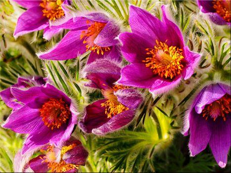 Фото бесплатно Pulsatilla vulgaris, Прострел обыкновенный, цветы