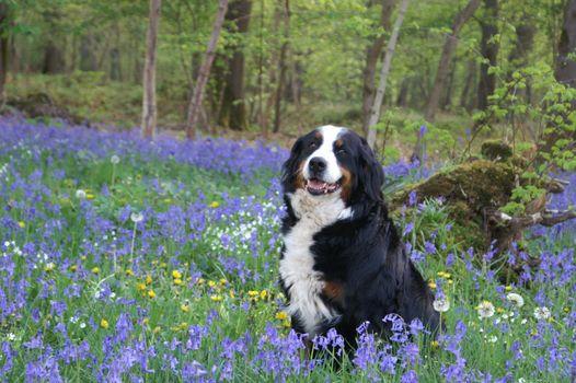 Фото бесплатно весна, бернская горная собака, фиолетовый