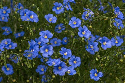 Photo free flax, blue, flower