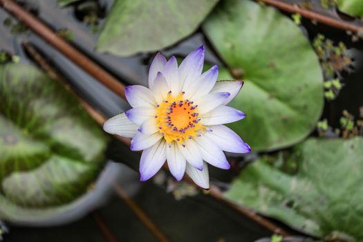 A beautiful screensaver flowers water lilies