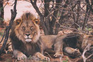 Фото бесплатно Львы, лежа, хищник
