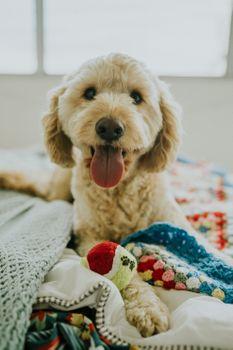 Photo free dog, muzzle, protruding tongue