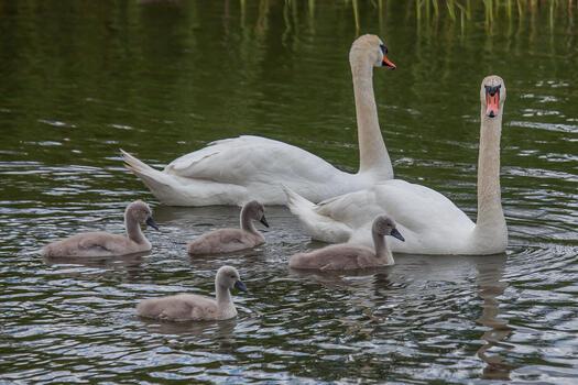 Photo free white swans, birds, two swans
