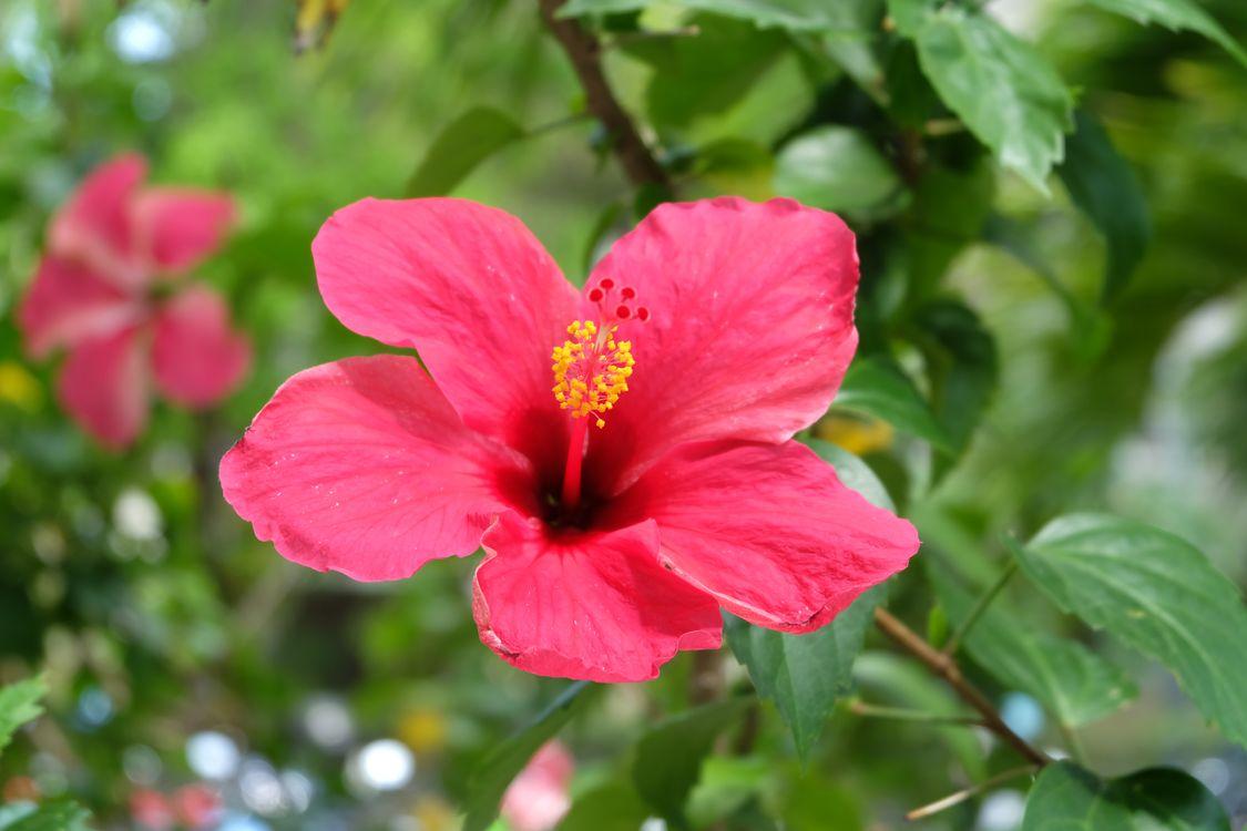 Фото цветок розовый цвет гибискус - бесплатные картинки на Fonwall