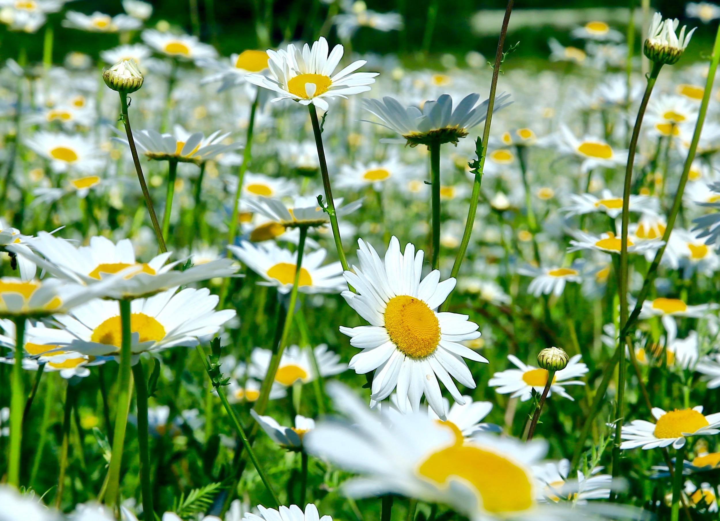 Обои поле, ромашки, цветы, флора