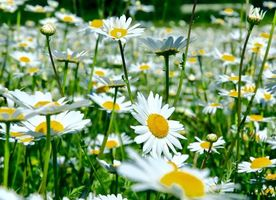 Фото бесплатно цветы, ромашки, флора